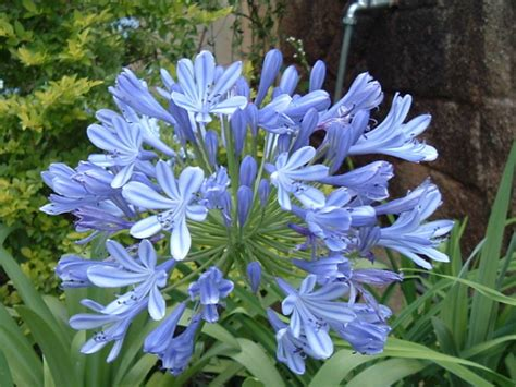 plants agapanthus how to grow when and where