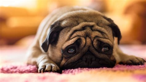 wallpapers of pugs pug hd wallpaper and background image 1920x1080 id 431179
