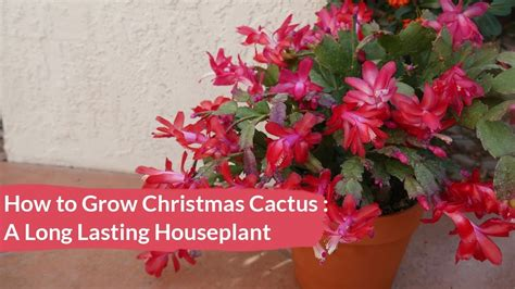 christmas cactus holiday cactus care how to grow this