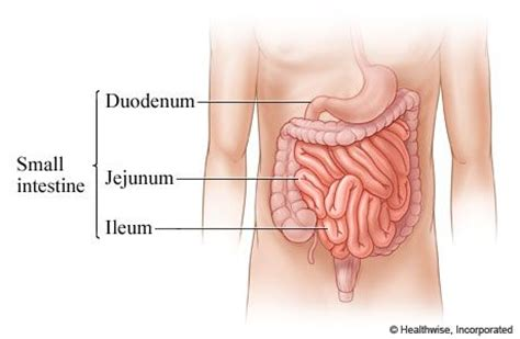 intestinal problems after c section small intestine connects to stomach the small intestine