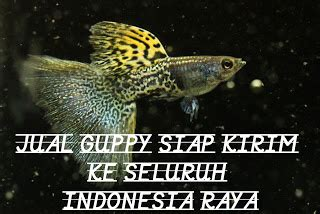 Jual Bibit Ikan Koi Import resi pengiriman per 15 maret 2018 ikan guppy hias import
