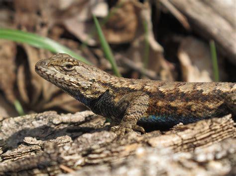 blue jay barrens northern fence lizard