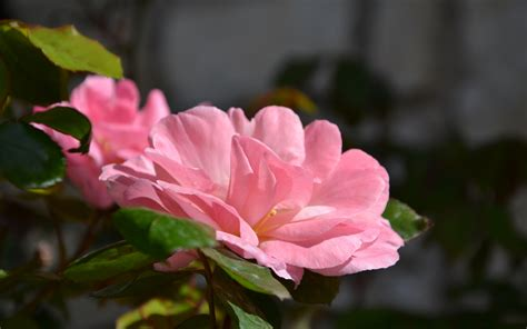 blooming flowers pink flowers image beautiful blooming flower and cozy 3840x2400 free wallpaper