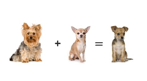 yorkies mixed with other breeds top 7 yorkie mix breeds yorkie