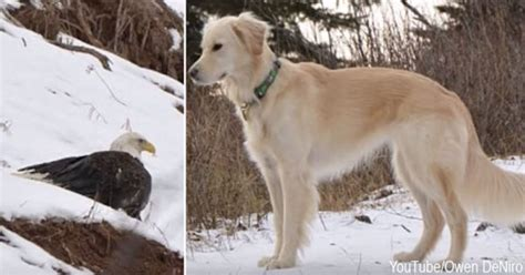 bald golden retriever bald eagle saved from freezing to by golden retriever
