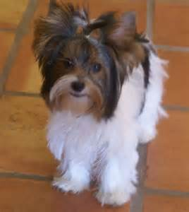 pictures of puppy haircuts for yorkie dogs 102 best images about biewer on pinterest yorkshire
