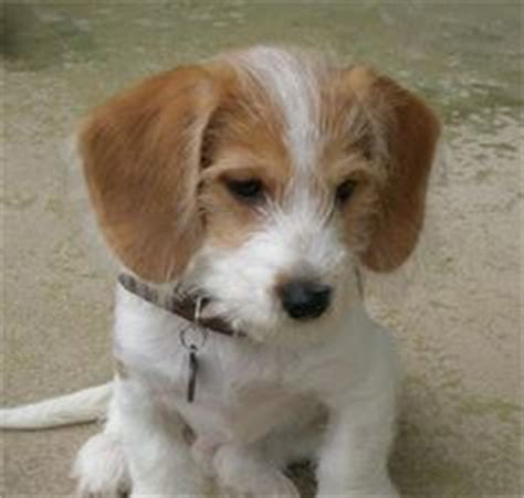 chihuahua yorkie beagle mix 1000 images about mixed breeds of dogs on poodle mix border collies and