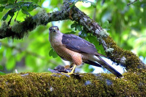 sharp shinned hawk wikipedia