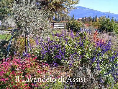 aiuole fiorite tutto l anno salvia officinalis e salvie ornamentali coltivazione