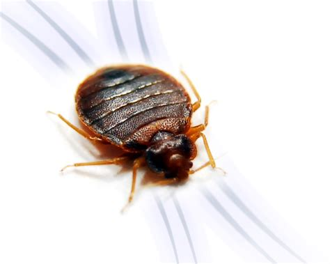 Detect Bed Bugs Traveling Locations Pestmall Blog