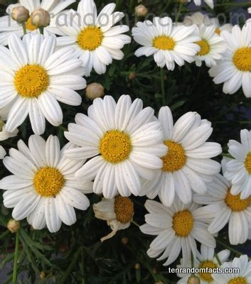 facts about daisy flowers marguerite daisy ten random facts