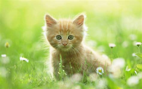 wallpapers for desktop kittens cute kitten wallpapers hd wallpapers id 8640