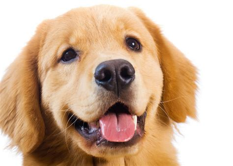 golden retriever puppy guide golden retriever guide a z canine breed information