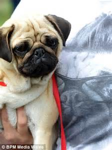 how many pugs are there in the world hundreds of wrinkly faced pets and devoted owners celebrate uk s pugfest and