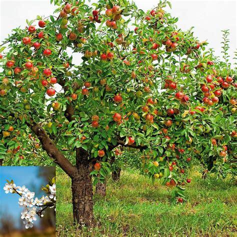 imagenes de flores que dan frutos el manzano es una planta con flor en el interior de su