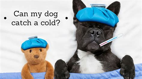 can dogs catch a cold can dogs catch a cold hudsandtoke