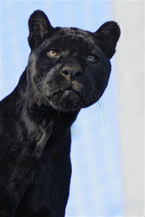 fotogradus чёрная пантера 17 фото black panther