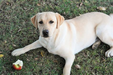 are apples safe for dogs the best and worst fruit and veggie treats for your