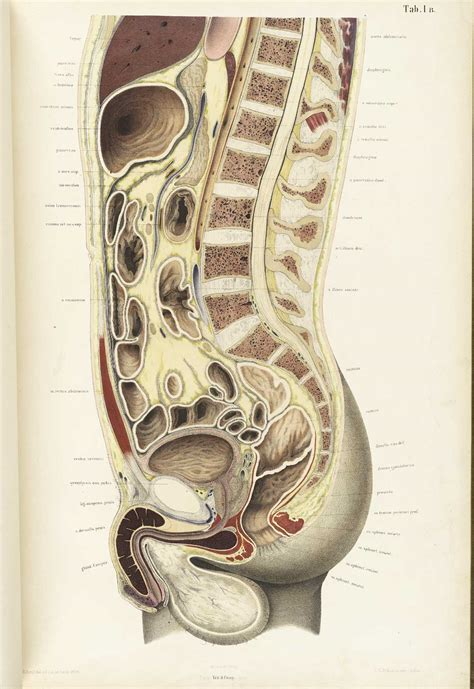 cross section of human body historical anatomies on the web wilhelm braune home