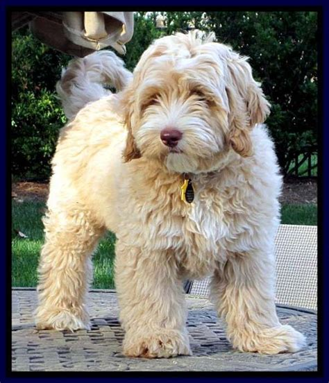 labradoodle grooming cuts picture mini goldendoodle grooming styles google search