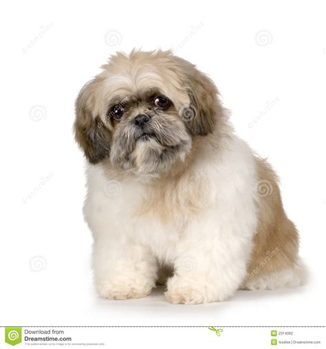 shih tzu photography shih tzu stock photography image 2314062