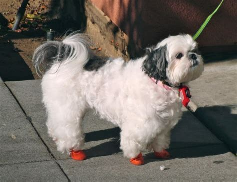 shoes for shih tzu of the day shih tzu with boots the dogs of san franciscothe dogs of san