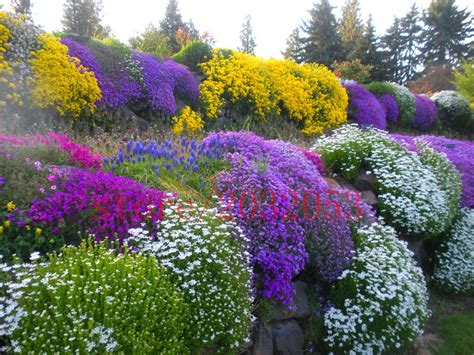 Rock Garden Perennials Mix 100 Rock Cress Seeds Aubrieta Flower Seeds Evergreen Perennial Deer Resistant Flower