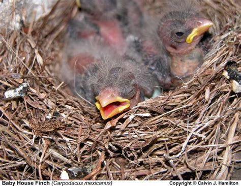 baby house finch baby house finch