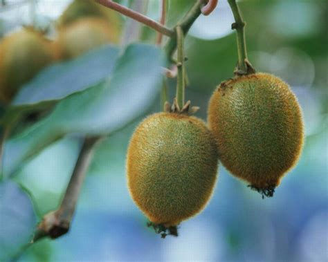 Produk Brand Happy Supreme Canada 12kg kiwi fruit china trading company products