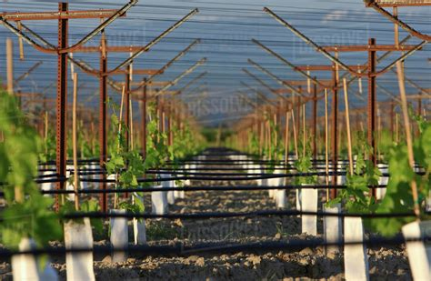 table grape trellis systems agriculture a table grape vineyard utilizing an