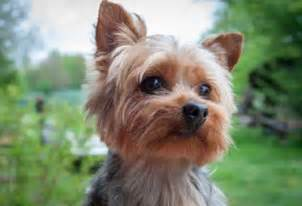 yorkie hairstyles photo gallery yorkie haircuts yorkshire terrier cuts and hairstyles