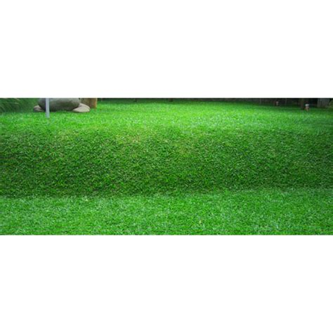 Jual Bibit Four Leaf Clover jual bibit rumput gajah mini