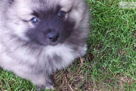 keeshond puppies for sale near me keeshond puppy for sale near athens 62b9804f 07a1