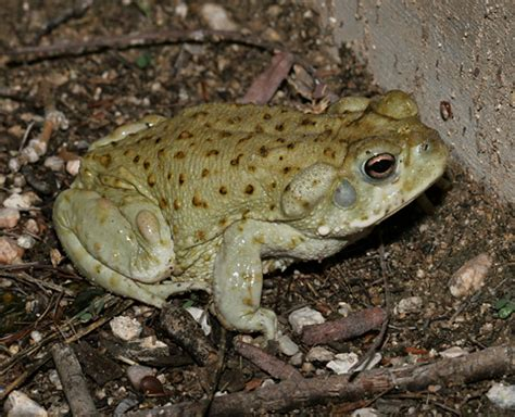 How To Get Rid Of Toads In Backyard by Sonoran Toad Sonoran Desert Explorers
