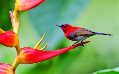 the sunbird crimson sunbird singapore national bird