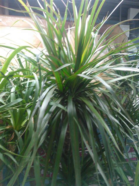 Home Decoration Articles by Dracaena Plant Care Growing Planting Cutting Diseases