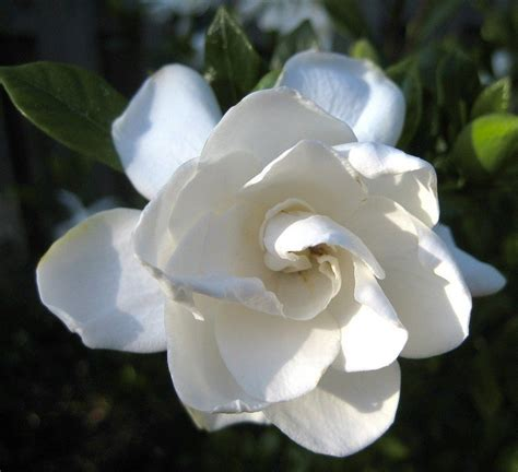 gardenia flowers learn how to grow and care for gardenia plants