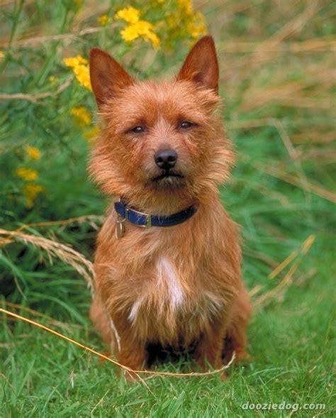 terrier breeds australian terrier breed guide learn about the australian terrier