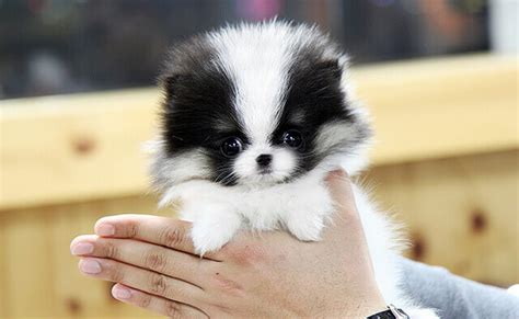 teacup pomeranian characteristics pomeranian characteristics appearance and pictures