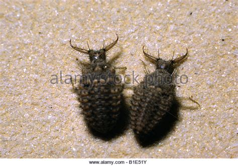 doodlebug antlion doodlebug stock photos doodlebug stock images alamy