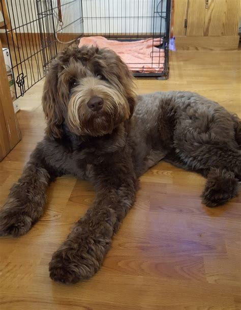 labradoodle puppies for sale in wi australian labradoodle puppy