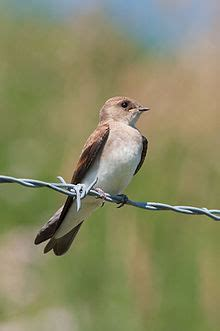 northern rough winged swallow wikipedia