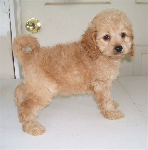 cockapoo puppies for sale in pa 1000 ideas about cockapoo pups for sale on pups for sale puppy for