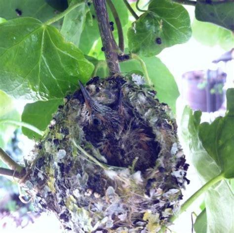 rufous hummingbird nest birds of bc pinterest