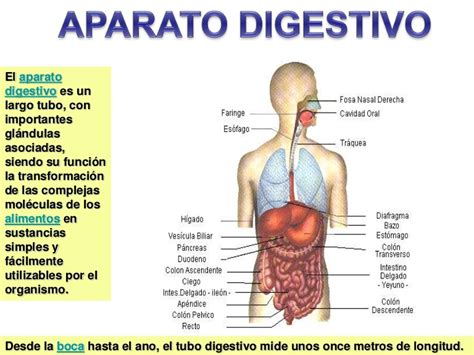 aparato digestivo aparato digestivo