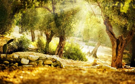 olive tree wallpaper sunbathed olive garden wallpapers sunbathed olive garden