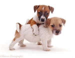 Dogs: Jack Russell pups photo - WP08623