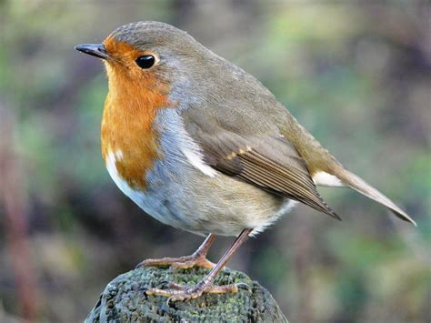 neil s daily bird 3 european robin