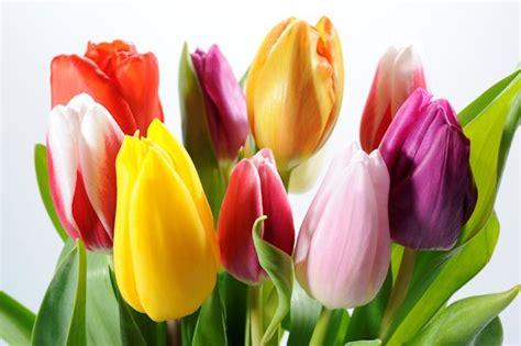 imagenes de flores espirituales banco de im 193 genes tulipanes de colores para decorar el