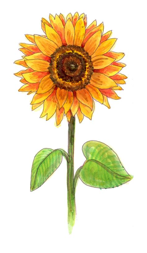Facts About Daisy Flowers by Drawing A Sunflower